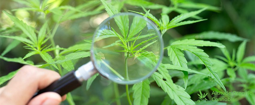 Every Part of a Cannabis Plant - Characteristics and Recreational Uses