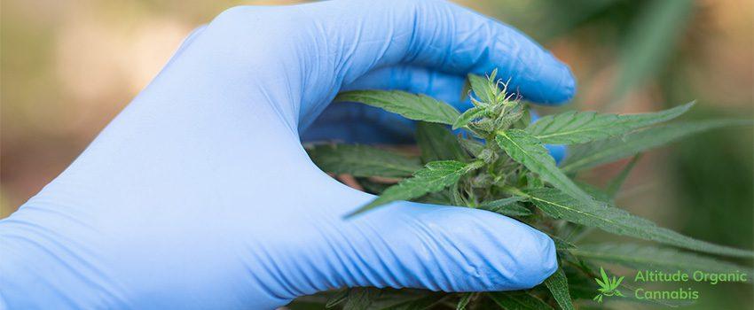 Marijuana Myths - Are They True