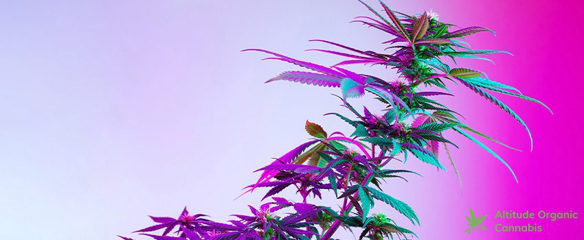 Things You Should Know Before Trying New Cannabis Strains