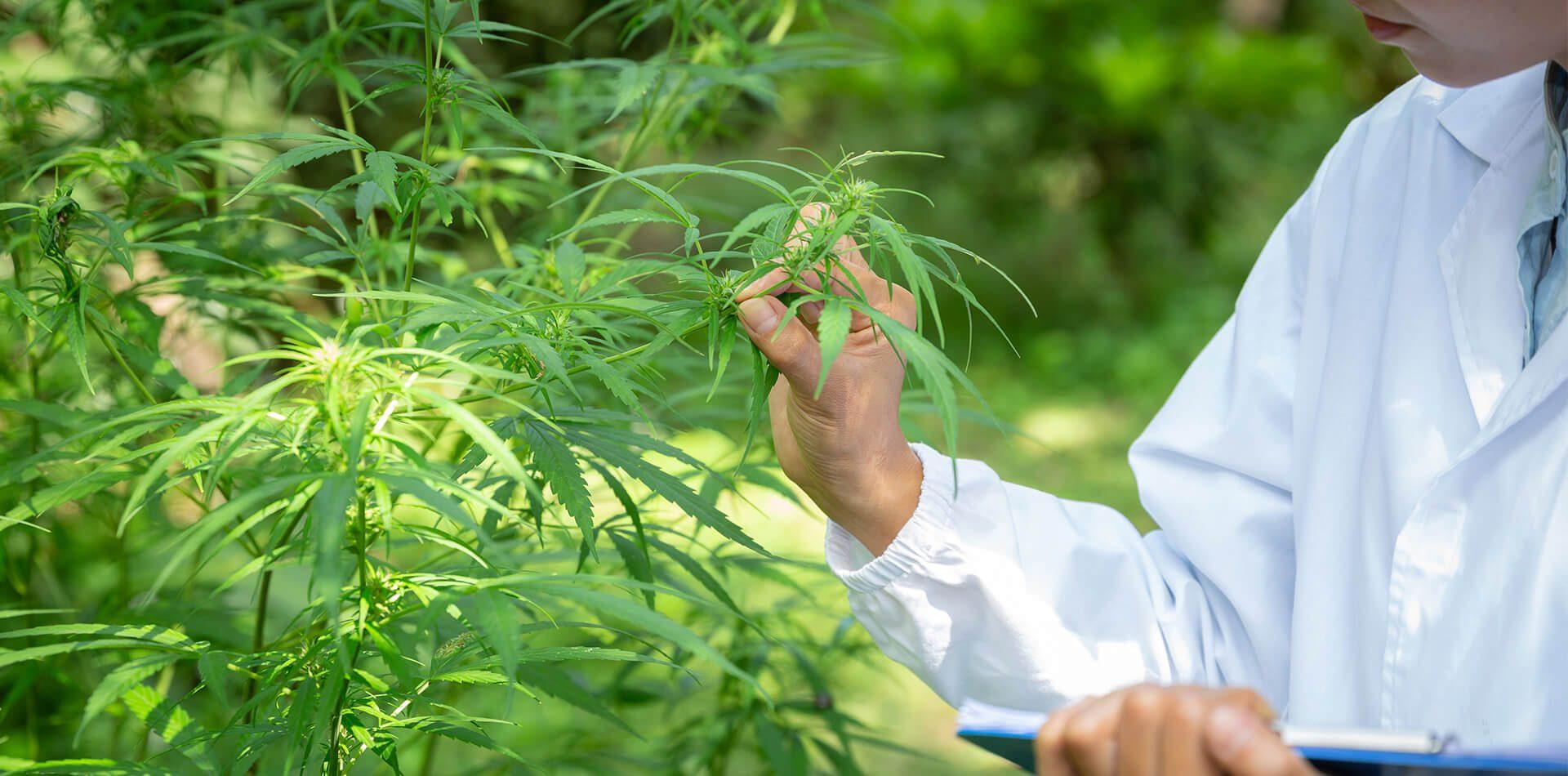 AOC Healhty Grown Cannabis